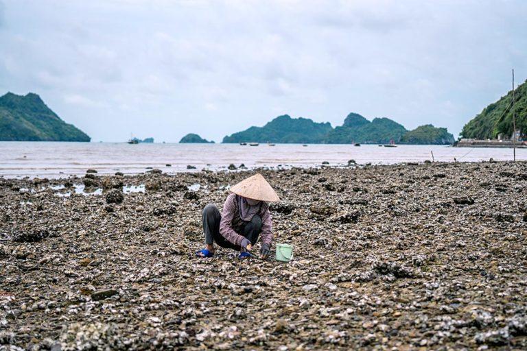 Picking rock shells in Vietnam