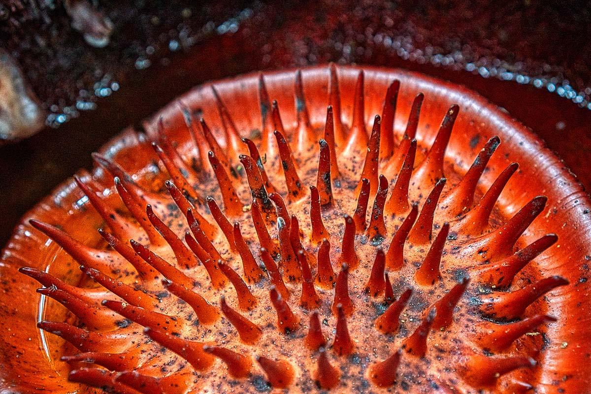 Is Rafflesia flower smelly flower