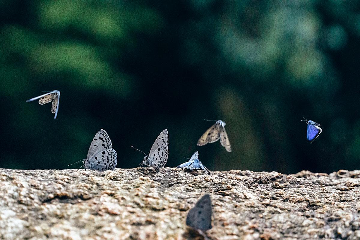 tioman butterflies
