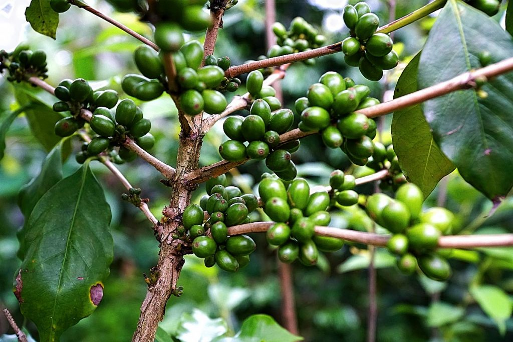 green coffee beans on tree