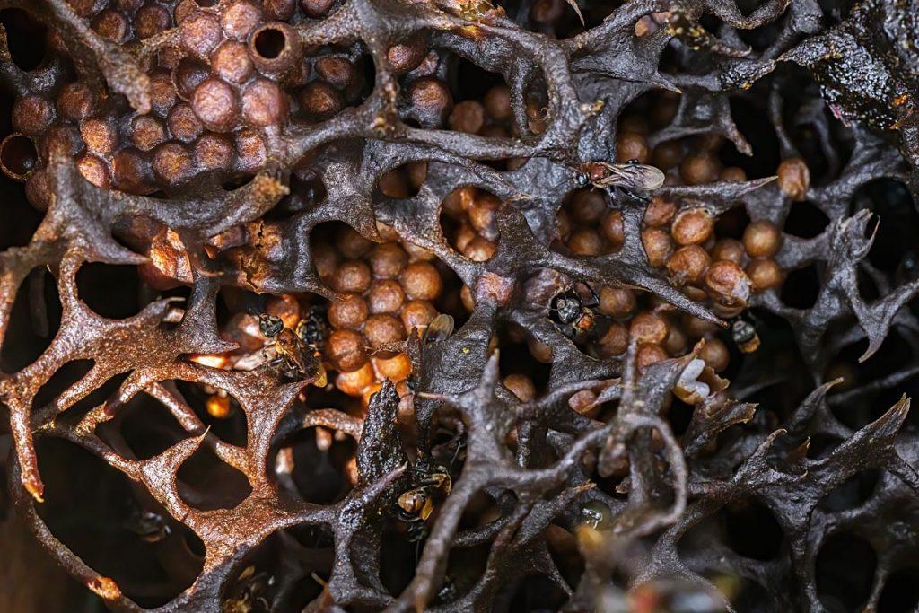 Trigona bee larvae