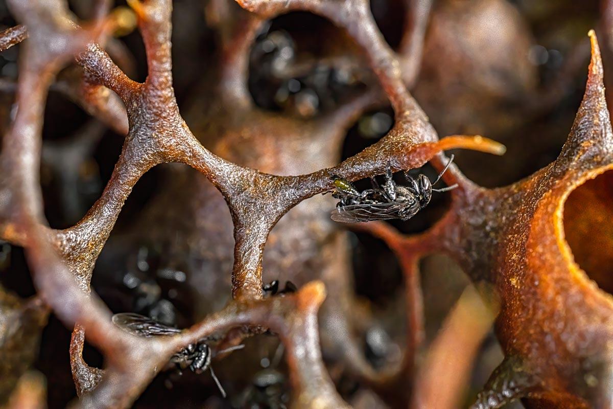 Trigona bee