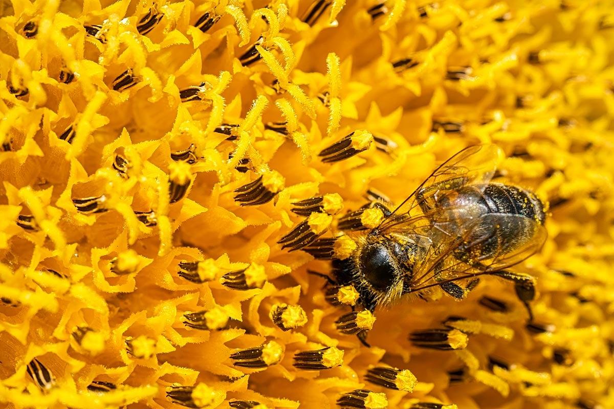 Carniolan bee