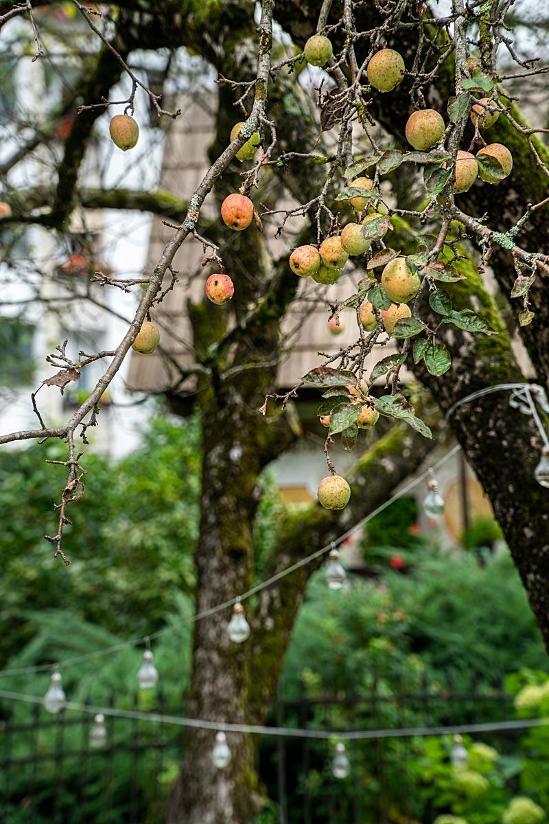 kendov dvorec apple tree