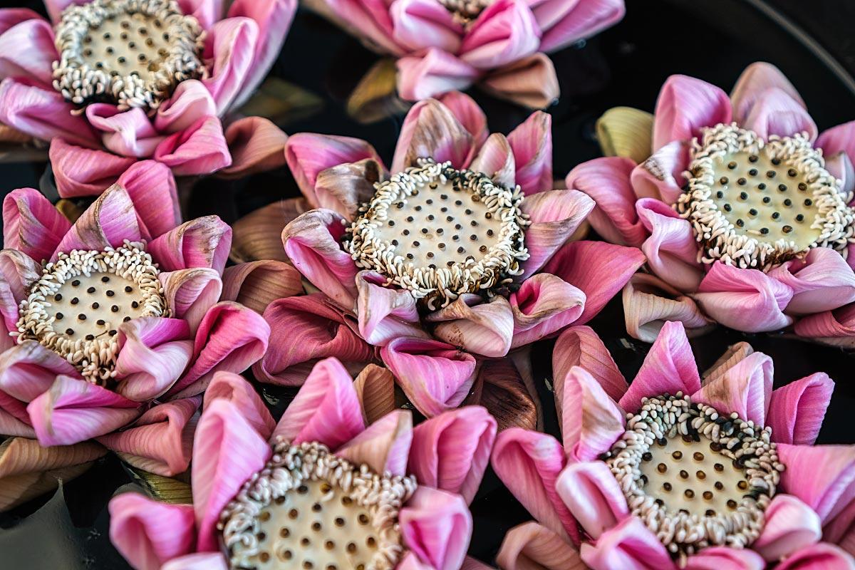 folded lotus flowers